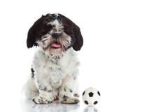 Dog shih tzu with ball isolated on white background Stock Photography