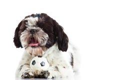 Dog shih tzu with ball isolated on white background Royalty Free Stock Photos
