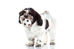 Dog shih tzu with ball isolated on white background Stock Image