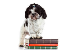 Dog shih tzu with books isolated on white background. Shih tzu with books isolated on white background knowledge pet domestic animal stock photo