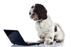 Dog Shih tzu with computer isolated on white background dog. Shih tzu with computer isolated on white background dog internet high technology outcut royalty free stock photography
