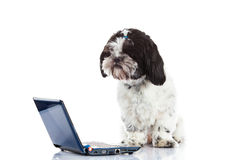 Dog Shih tzu with computer isolated on white background dog. Shih tzu with computer isolated on white background pet with laptop internet modern technology pc stock images