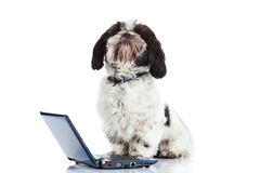 Dog Shih tzu with computer isolated on white background. Shih tzu with computer isolated on white background dog laptop high technology internet modern life pet royalty free stock photos