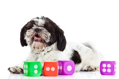 Dog shih tzu with dices isolated on white background. Shih tzu with dices isolated on white background dice pet and toys domestic animal concept for design dice stock photography