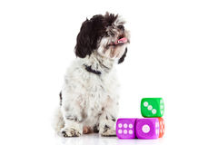 Dog shih tzu with dices isolated on white background. Shih tzu with dices isolated on white background pet domestic animal game toys gambler fair play outcut stock photos