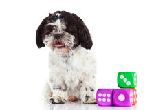 Dog shih tzu with dices isolated on white background pet toy stock photography