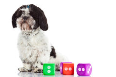 Dog shih tzu with dices isolated on white background. Shih tzu with dices isolated on white background pet toys domestic animals play playing royalty free stock photos