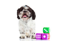 Dog shih tzu with dices isolated on white background. Shih tzu with dices isolated on white background toy object studio shot domestic animal royalty free stock image