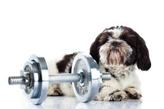 Dog Shih tzu with dumbbell isolated on white background sport concept. Shih tzu with dumbbell isolated on white background dog heavy gym pet domestic animal stock image