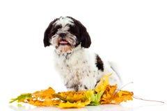 Dog Shih tzu isolated on white background. autumn. Shih tzu isolated on white background. autumn leaves pet domestic animal royalty free stock image