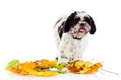 Dog Shih tzu isolated on white background. autumn. Shih tzu isolated on white background. autumn leaves pet domestic animal season of year royalty free stock photo
