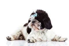 Dog Shih tzu  isolated on white background pet domestic Royalty Free Stock Photography