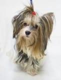 Dog Shih Tzu Royalty Free Stock Photo