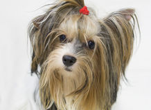 Dog Shih Tzu Stock Photos