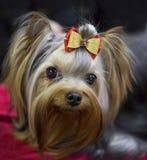 Dog Shih Tzu Royalty Free Stock Images