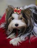 Dog Shih Tzu Stock Photo