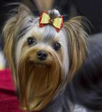 Dog Shih Tzu Royalty Free Stock Photos