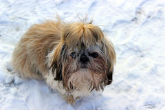 Dog shih tzu. Playing in snow royalty free stock photos