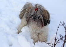 Dog shih tzu playing in snow.  royalty free stock photography