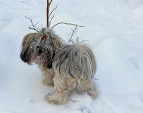 Dog shih tzu playing in snow Stock Images