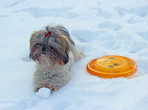 Dog shih tzu playing in snow. Winter stock photo