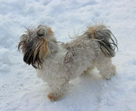 Dog shih tzu playing in snow. Royalty Free Stock Images
