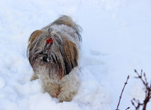 Dog shih tzu playing in snow. Winter stock images