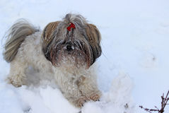 Dog shih tzu playing in snow. Winter royalty free stock image