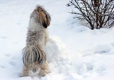 Dog shih tzu playing in snow. Winter stock image
