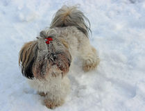 Dog shih tzu playing in snow. Winter royalty free stock photo