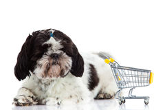 Dog Shih tzu with shopping trolly isolated on white background pet. Shih tzu with shopping trolly isolated on white background dog business concept domestic royalty free stock image