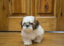 Shih tzu puppy breed tiny dog , age 6 month, playfulness, loveli. Dog, Shih tzu sitting on the floor, little dog puppy of shih Tzu, The dog breed of shih Tzu is stock photography