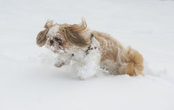 Dog shih tzu in snow. Dog shih tzu playing in snow stock image