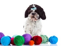 Dog shih tzu with threadballs isolated on white background pet. Shih tzu with colourful threadballs isolated on white background domestic animal outcut stock images