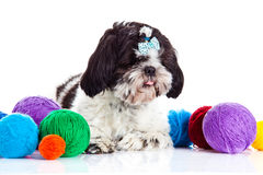 Dog shih tzu with threadballs isolated on white background. Shih tzu with threadballs isolated on white background pet domestic animal postcard concept for royalty free stock photo