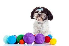 Dog shih tzu with threadballs isolated on white background. Shih tzu with threadballs isolated on white background postcard concept pet stock images