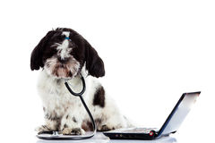 Dog shihtzu doctor computer isolated on white background. Shih tzu doctor computer isolated on white background pet health concept laptop Royalty Free Stock Image