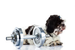 Dog Shihtzu with dumbbell  isolated on white background dumbbells sport concept Stock Image