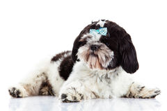 Dog Shihtzu  isolated on white background pet beauty domestic animal Stock Image