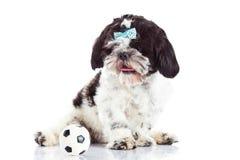Dog shihtzuen med bollen på vit bakgrundsfotboll Fotografering för Bildbyråer