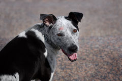 Dog with Shingles. Portrait black and gray dog with Shingles Stock Photos