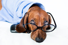Dog in a shirt Royalty Free Stock Image