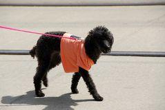 Dog in a shirt. Black poodle wearing cute pink t-shirt Stock Image