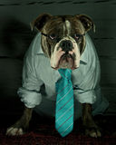 Dog in shirt and tie Royalty Free Stock Image