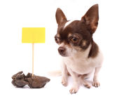 Dog and shit. Chihuahua and her poo on the white background Royalty Free Stock Image