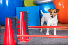 Dog shool. Jack Russel terrier getting physical treatment Royalty Free Stock Photos