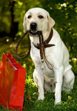 Dog and shopping bag. Dog sat outdoors with lead in mouth next to shopping bag stock photos