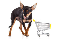 Dog with shopping trolly isolated on white background. Chihuahua with shopping trolly isolated on white background pet domestic animal business concept outcut Royalty Free Stock Images