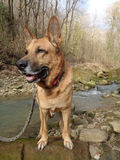Dog on the shore of forest stream. Shepherd dog standing on the stone on river bank Royalty Free Stock Photos