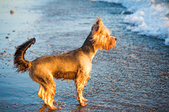 Dog on the shore of the sea plays in the water. Royalty Free Stock Photography